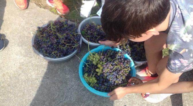 Cueillette des raisins 2020